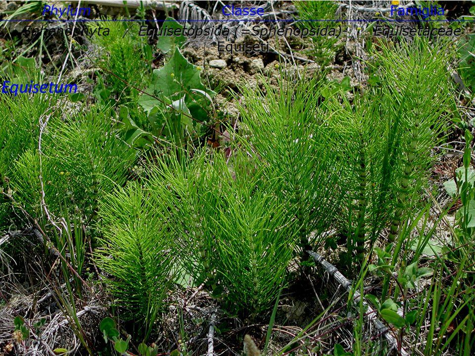 Equisetum PhylumClasseFamiglia Sphenophyta Equisetopsida (=Sphenopsida)- Equiseti Equisetaceae