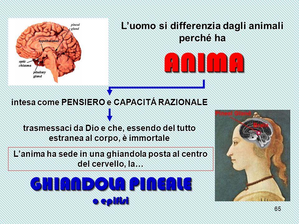 65 L'uomo si differenzia dagli animali perché ha ANIMAANIMA intesa come PENSIERO e CAPACITÁ RAZIONALE trasmessaci da Dio e che, essendo del tutto estranea al corpo, è immortale L'anima ha sede in una ghiandola posta al centro del cervello, la… GHIANDOLA PINEALE o epifisi GHIANDOLA PINEALE o epifisi