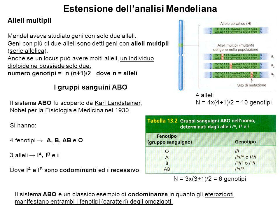 Estensione dell'analisi Mendeliana Alleli multipli Mendel aveva studiato geni con solo due alleli. Geni con più di due alleli sono detti geni con alle