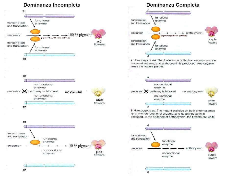 100 % pigment no pigment 50 % pigment R1 R2 white pink red Dominanza Incompleta Dominanza Completa
