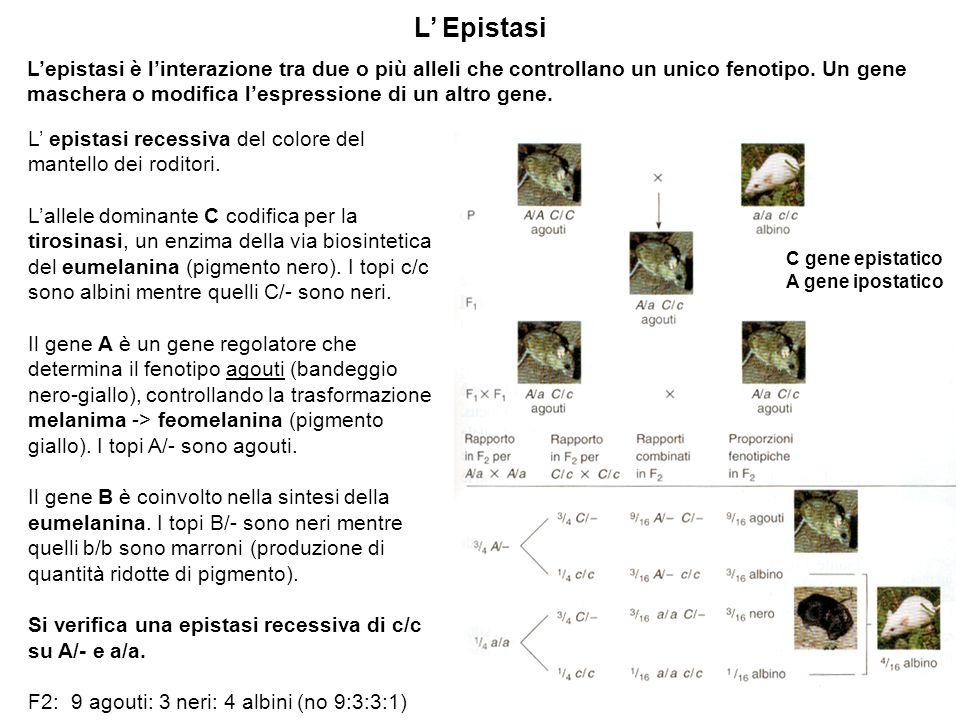 L' Epistasi L'epistasi è l'interazione tra due o più alleli che controllano un unico fenotipo. Un gene maschera o modifica l'espressione di un altro g