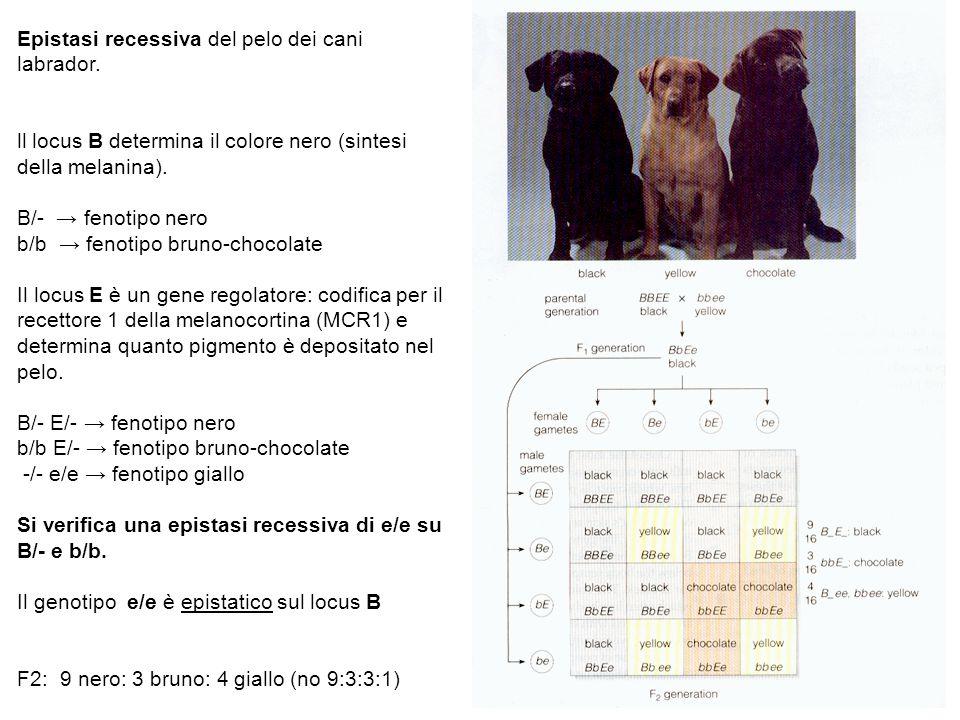 Epistasi recessiva del pelo dei cani labrador. ll locus B determina il colore nero (sintesi della melanina). B/- → fenotipo nero b/b → fenotipo bruno-