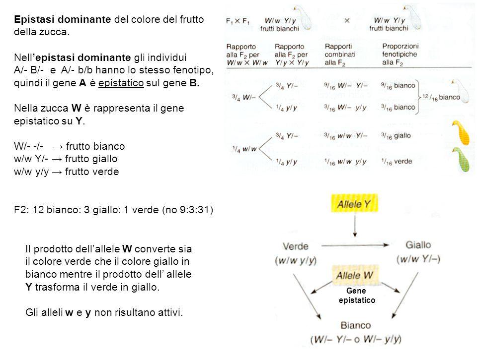 Epistasi dominante del colore del frutto della zucca. Nell'epistasi dominante gli individui A/- B/- e A/- b/b hanno lo stesso fenotipo, quindi il gene