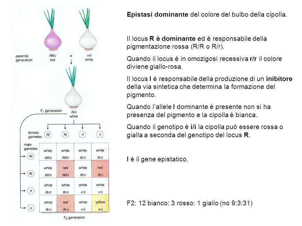Epistasi dominante del colore del bulbo della cipolla. Il locus R è dominante ed è responsabile della pigmentazione rossa (R/R o R/r). Quando il locus