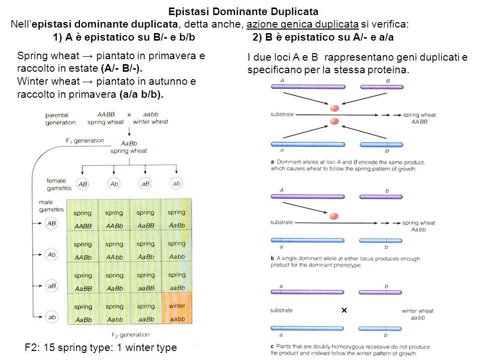 Epistasi Dominante Duplicata Nell'epistasi dominante duplicata, detta anche, azione genica duplicata si verifica: 1) A è epistatico su B/- e b/b 2) B