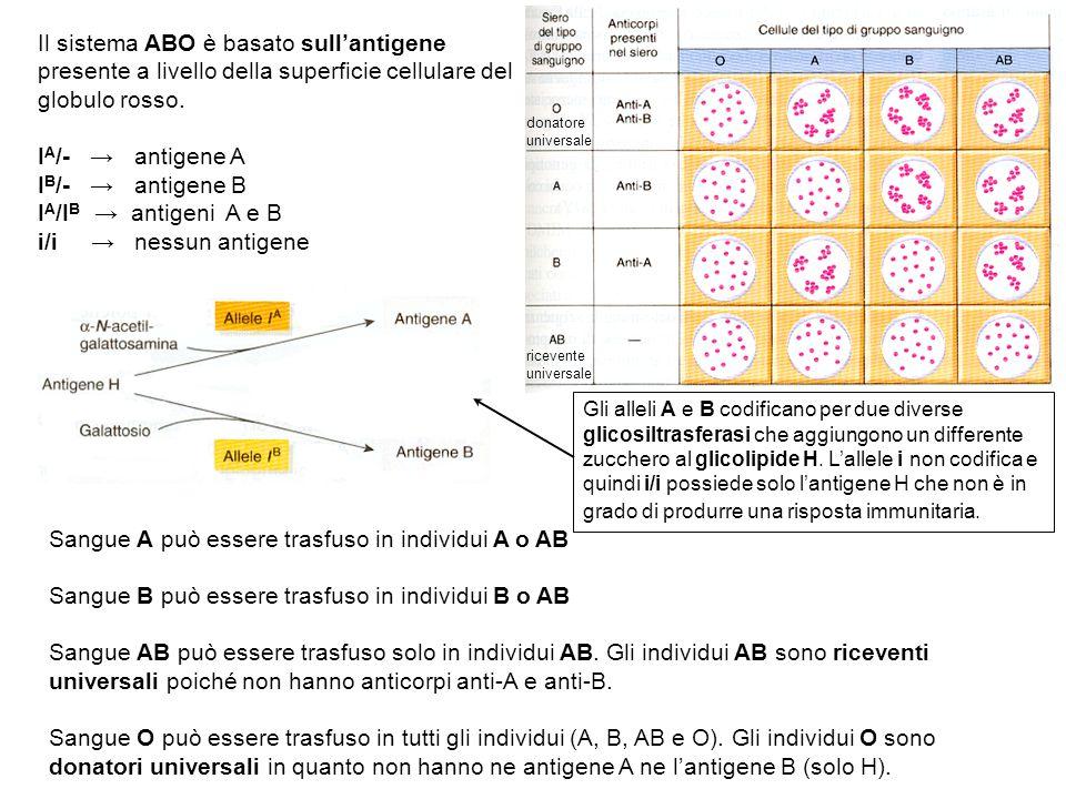 Il sistema ABO è basato sull'antigene presente a livello della superficie cellulare del globulo rosso. I A /- → antigene A I B /- → antigene B I A /I