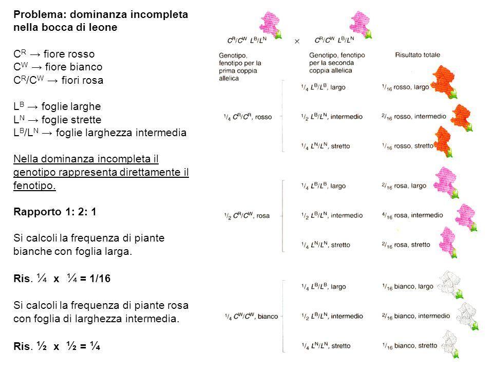 Problema: dominanza incompleta nella bocca di leone C R → fiore rosso C W → fiore bianco C R /C W → fiori rosa L B → foglie larghe L N → foglie strett