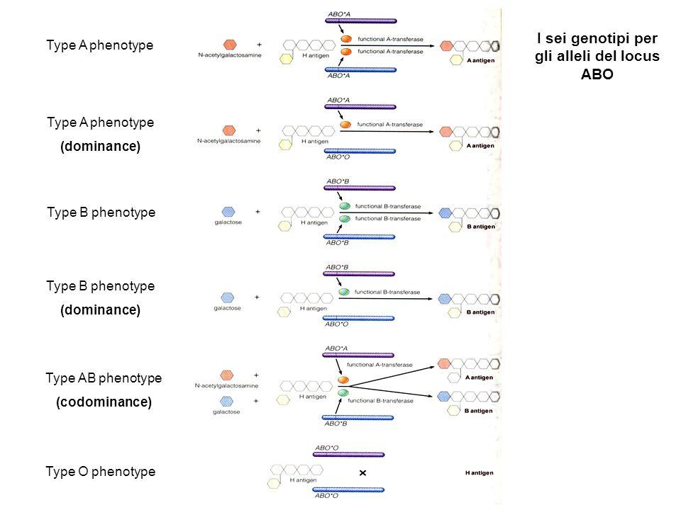 L' Epistasi L'epistasi è l'interazione tra due o più alleli che controllano un unico fenotipo.