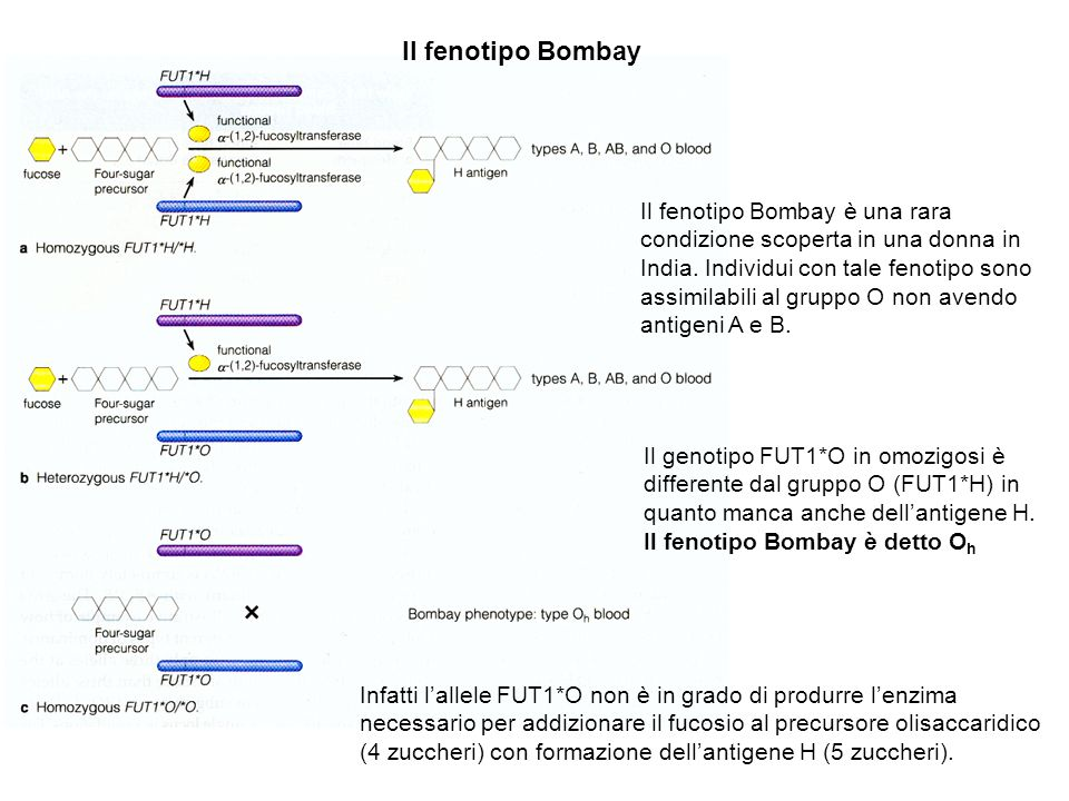 Il fenotipo Bombay Il fenotipo Bombay è una rara condizione scoperta in una donna in India. Individui con tale fenotipo sono assimilabili al gruppo O