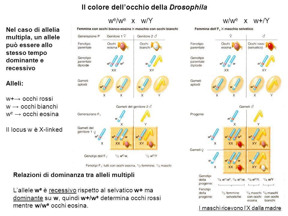 Il colore dell'occhio della Drosophila Nel caso di allelia multipla, un allele può essere allo stesso tempo dominante e recessivo Alleli: w+→ occhi ro