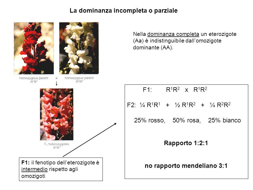 La dominanza incompleta o parziale F1: R 1 R 2 x R 1 R 2 F2: ¼ R 1 R 1 + ½ R 1 R 2 + ¼ R 2 R 2 25% rosso, 50% rosa, 25% bianco Rapporto 1:2:1 no rappo