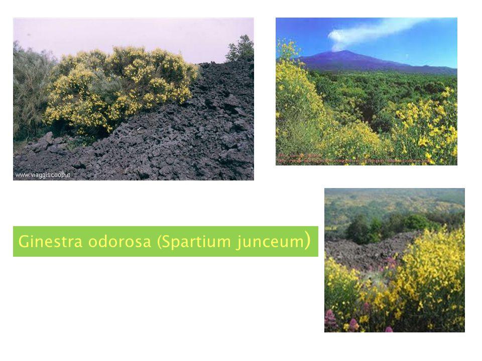 Rumex (romice) Astragalus Siculus