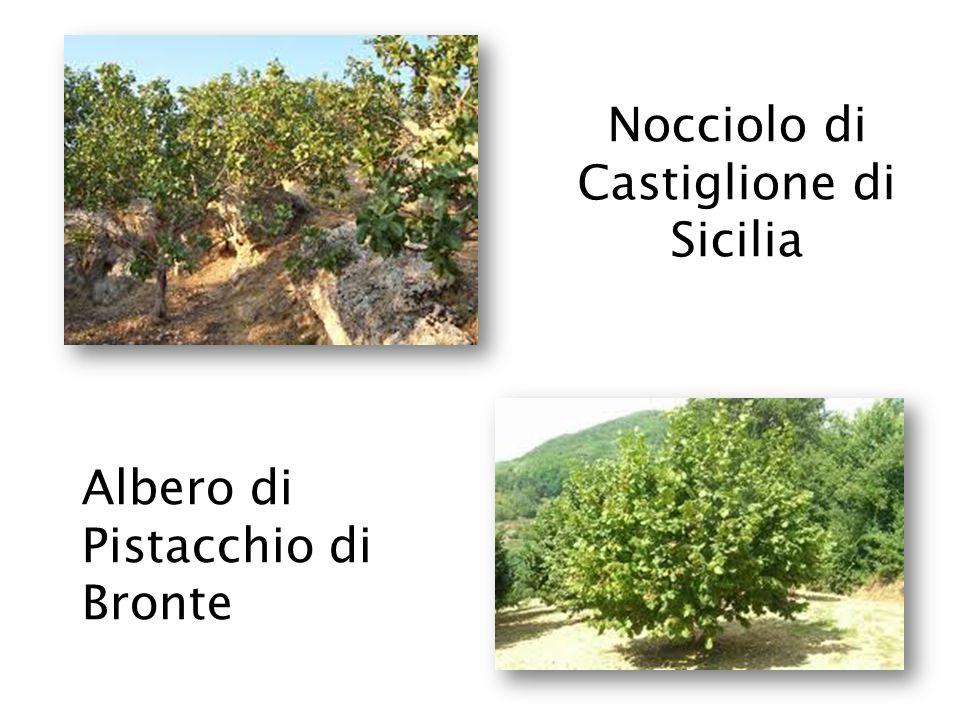 Ginestra odorosa (Spartium junceum )