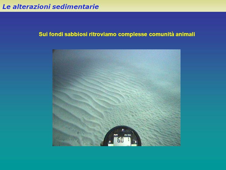 Le alterazioni sedimentarie Sui fondi sabbiosi ritroviamo complesse comunità animali