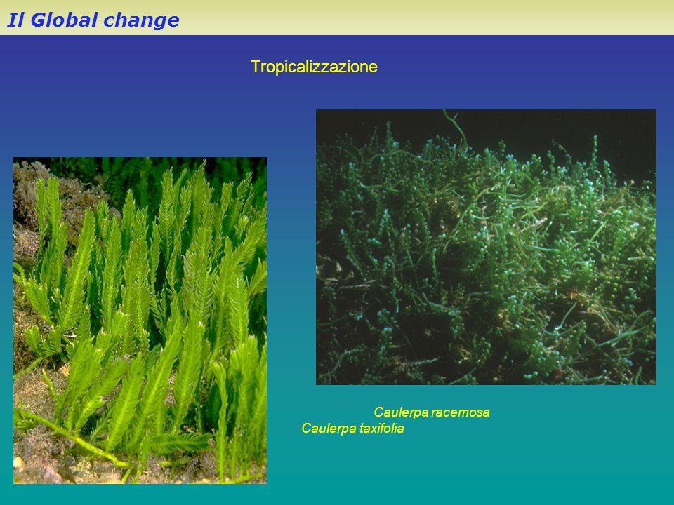 Il Global change Caulerpa racemosa Caulerpa taxifolia Tropicalizzazione