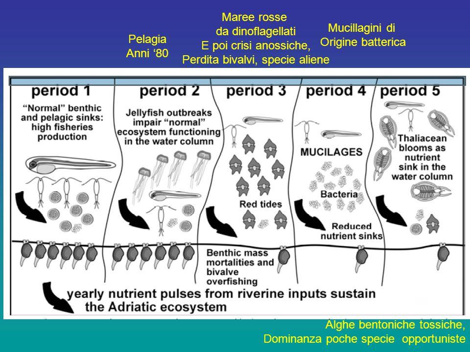 Pelagia Anni '80 Maree rosse da dinoflagellati E poi crisi anossiche, Perdita bivalvi, specie aliene Mucillagini di Origine batterica Alghe bentoniche