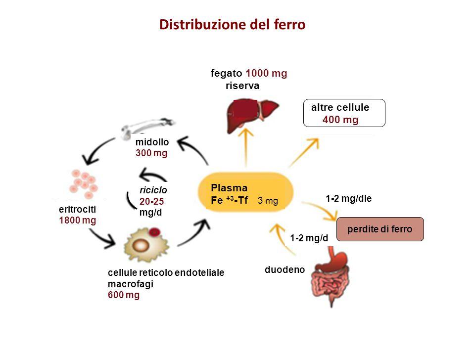 cellule reticolo endoteliale macrofagi 600 mg midollo 300 mg eritrociti 1800 mg altre cellule 400 mg fegato 1000 mg riserva Plasma Fe +3 -Tf 3 mg perd