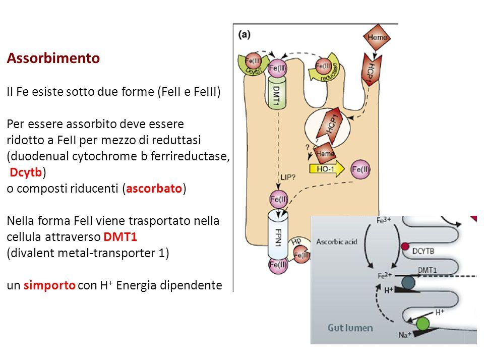 Assorbimento Il Fe esiste sotto due forme (FeII e FeIII) Per essere assorbito deve essere ridotto a FeII per mezzo di reduttasi (duodenual cytochrome
