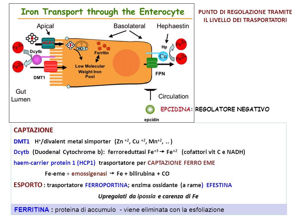 CAPTAZIONE DMT1 DMT1 H + /divalent metal simporter (Zn +2, Cu +2, Mn +2,.. ) Dcytb (Duodenal Cytochrome b): ferroreduttasi Fe +3  Fe +2 (cofattori vi