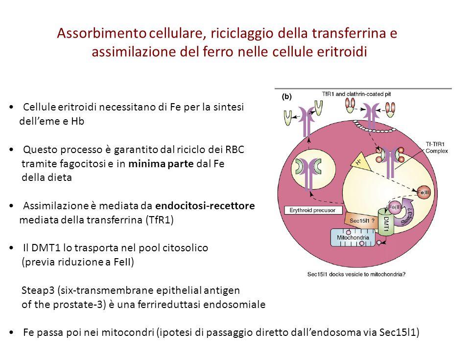 Assorbimento cellulare, riciclaggio della transferrina e assimilazione del ferro nelle cellule eritroidi Cellule eritroidi necessitano di Fe per la si