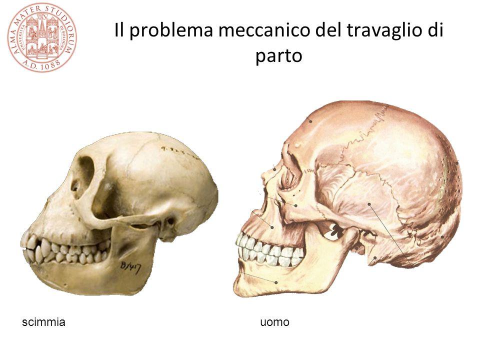 Il problema meccanico del travaglio di parto scimmia uomo