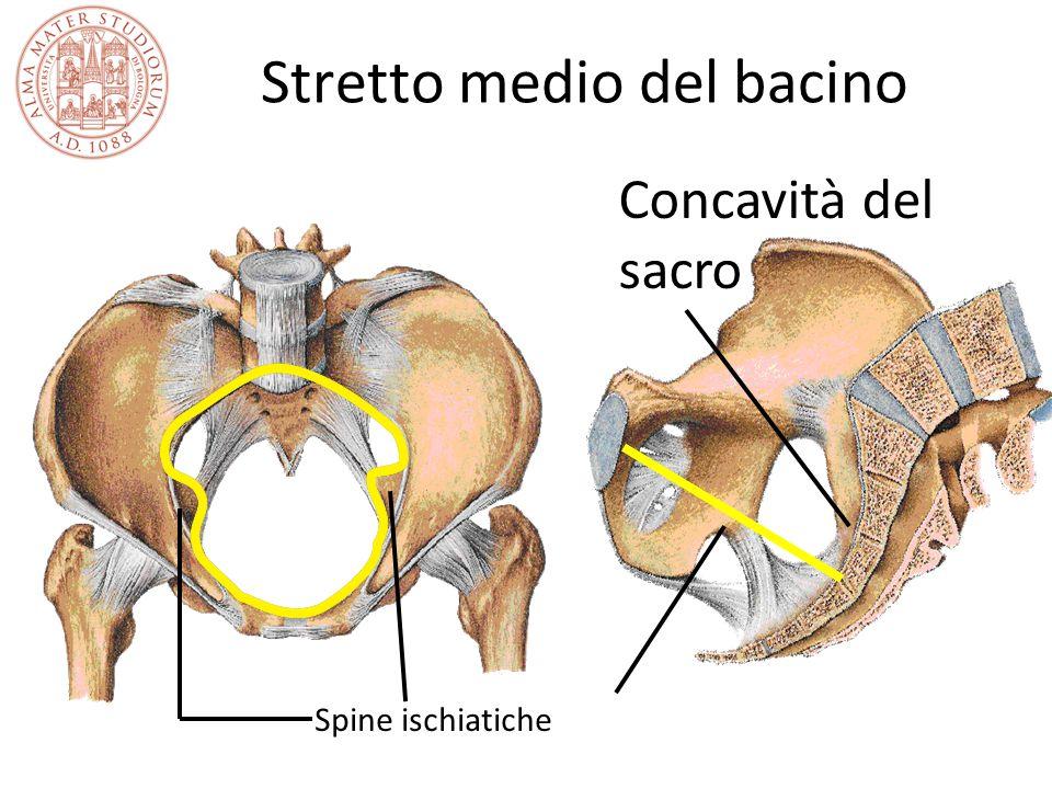 Stretto medio del bacino Spine ischiatiche Concavità del sacro