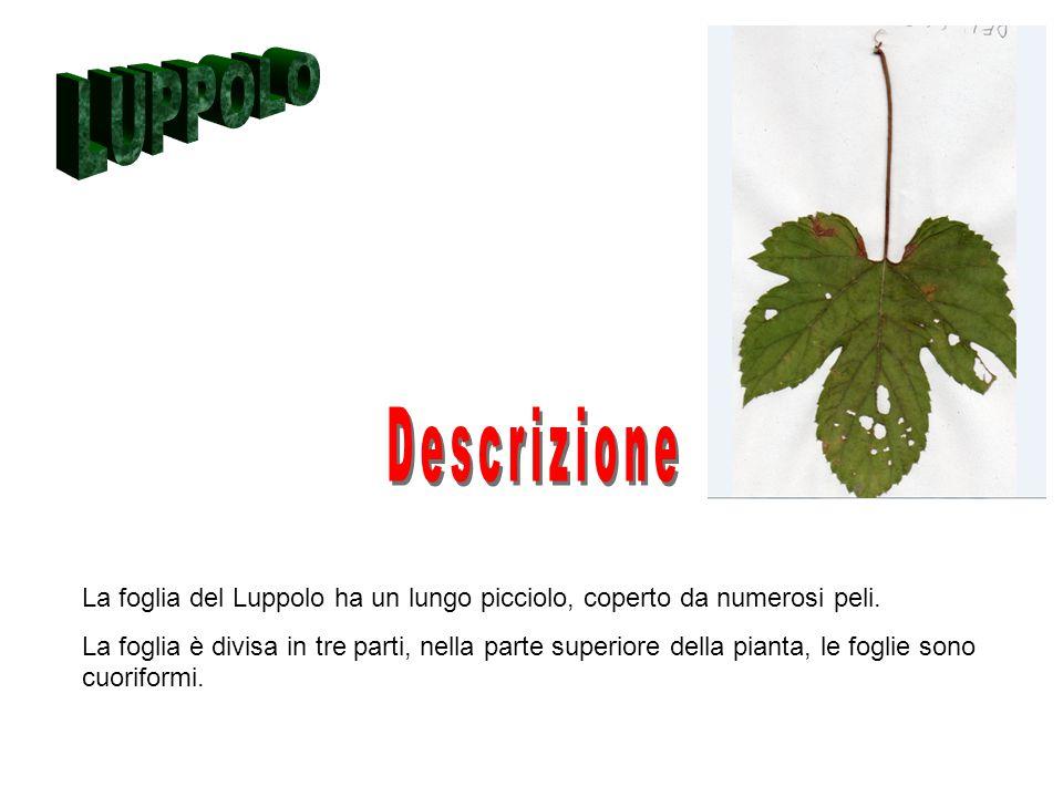 La foglia del Luppolo ha un lungo picciolo, coperto da numerosi peli. La foglia è divisa in tre parti, nella parte superiore della pianta, le foglie s