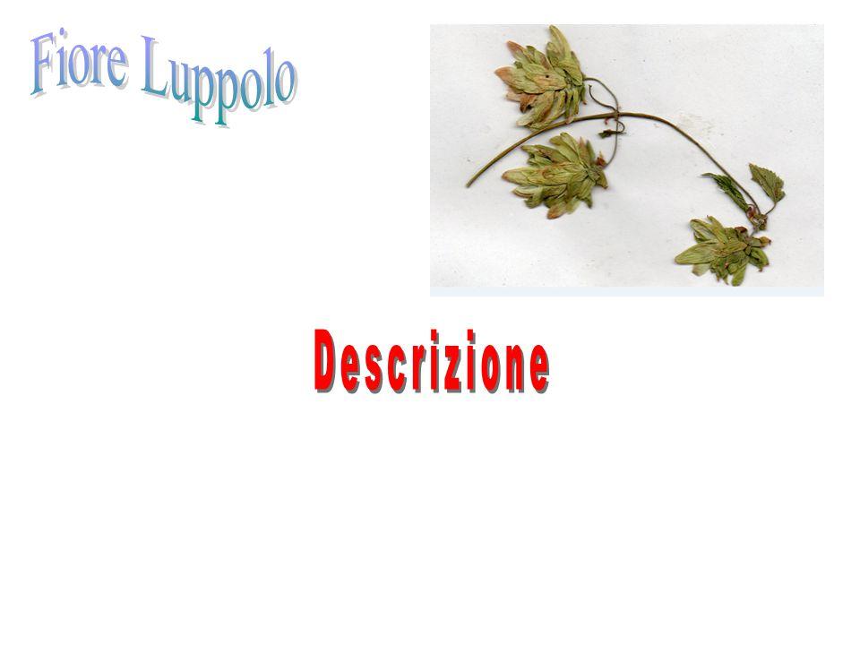 Le foglie del Mais sono senza peduncolo, dietro lisce e davanti sono con dei piccoli peli, sono molto lunghe ed hanno una grossa venatura.
