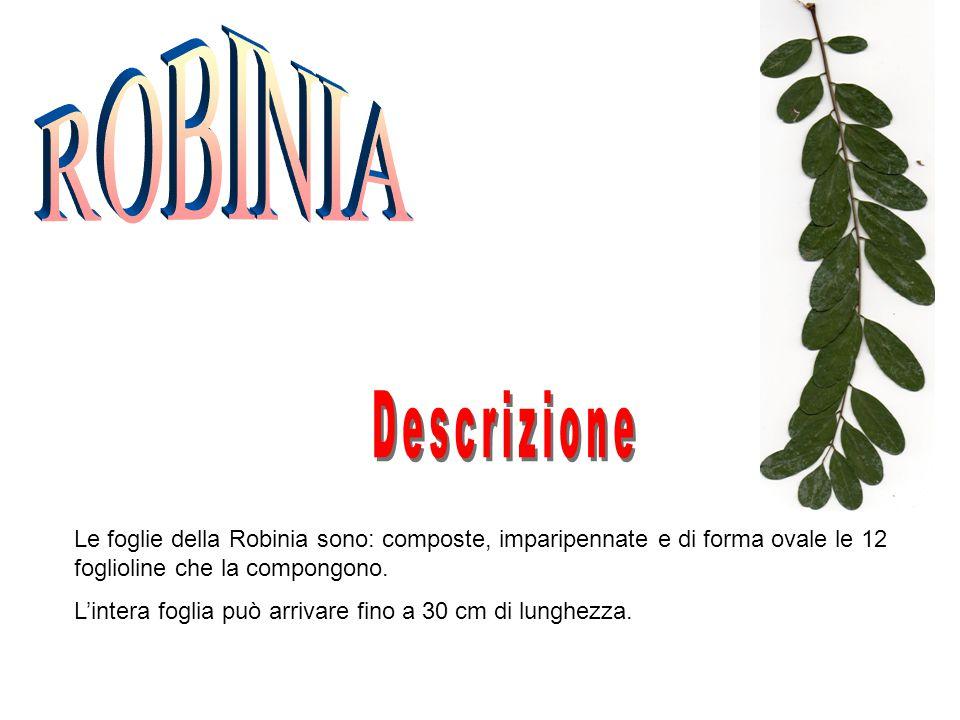 Le foglie della Robinia sono: composte, imparipennate e di forma ovale le 12 foglioline che la compongono. L'intera foglia può arrivare fino a 30 cm d