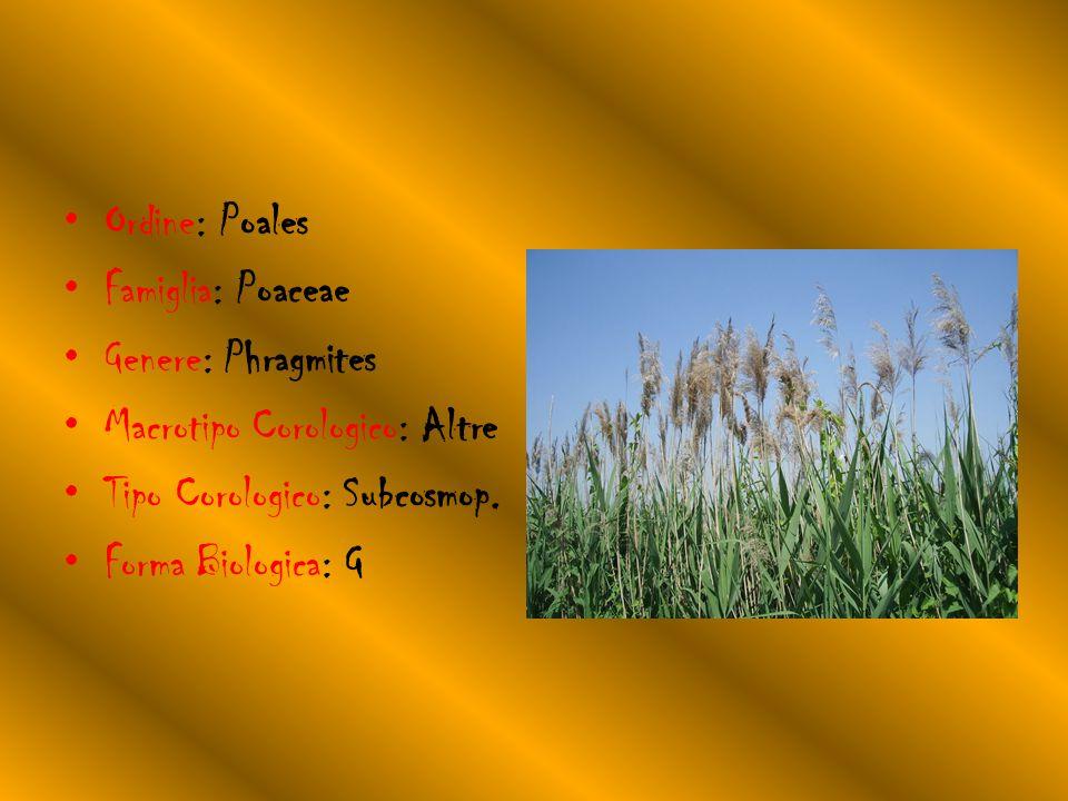 Ordine: Poales Famiglia: Poaceae Genere: Phragmites Macrotipo Corologico: Altre Tipo Corologico: Subcosmop.