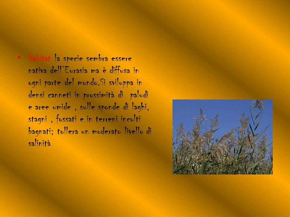 Habitat la specie sembra essere nativa dell'Eurasia ma è diffusa in ogni parte del mondo.Si sviluppa in densi canneti in prossimità di paludi e aree umide, sulle sponde di laghi, stagni, fossati e in terreni incolti bagnati; tollera un moderato livello di salinità