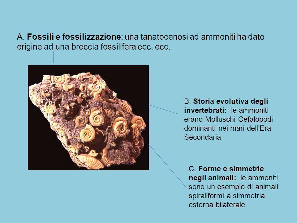 A. Fossili e fossilizzazione: una tanatocenosi ad ammoniti ha dato origine ad una breccia fossilifera ecc. ecc. B. Storia evolutiva degli invertebrati