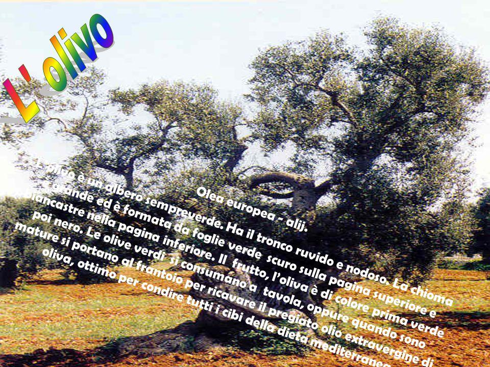 Olea europea - alij. L'olivo è un albero sempreverde. Ha il tronco ruvido e nodoso. La chioma è grande ed è formata da foglie verde scuro sulla pagina