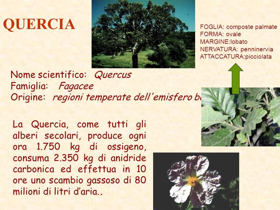 QUERCIA Nome scientifico: Quercus Famiglia: Fagacee Origine: regioni temperate dell'emisfero boreale La Quercia, come tutti gli alberi secolari, produ