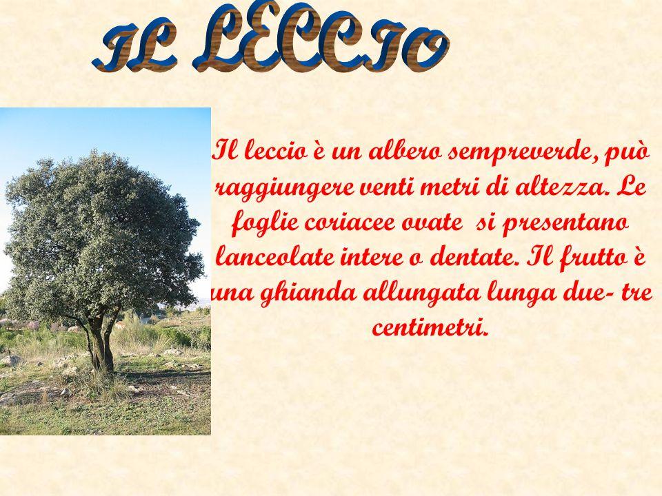 Il leccio è un albero sempreverde, può raggiungere venti metri di altezza. Le foglie coriacee ovate si presentano lanceolate intere o dentate. Il frut