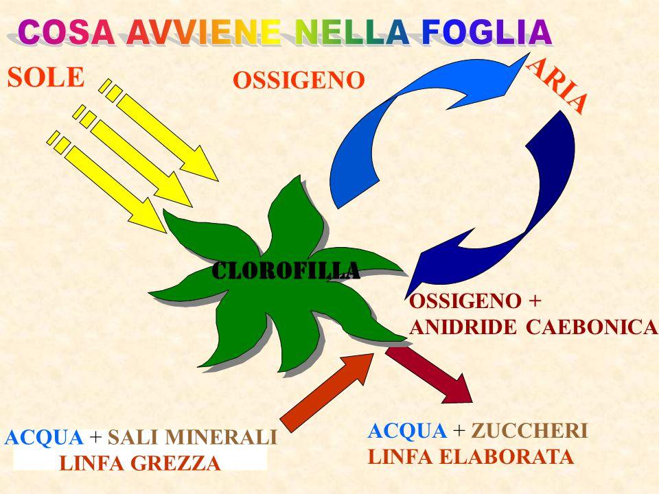 Le foglie hanno la funzione di fotosintesiclorofilliana respirazione dell'ossigeno traspirazione Processo attraverso il quale le piante restituiscono all'atmosfera parte dell'acqua, che hanno assorbito, ma non hanno utilizzato, sotto forma di vapore.