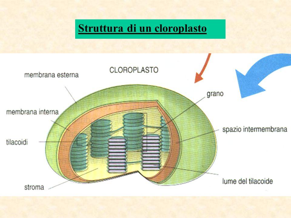 Struttura di un cloroplasto