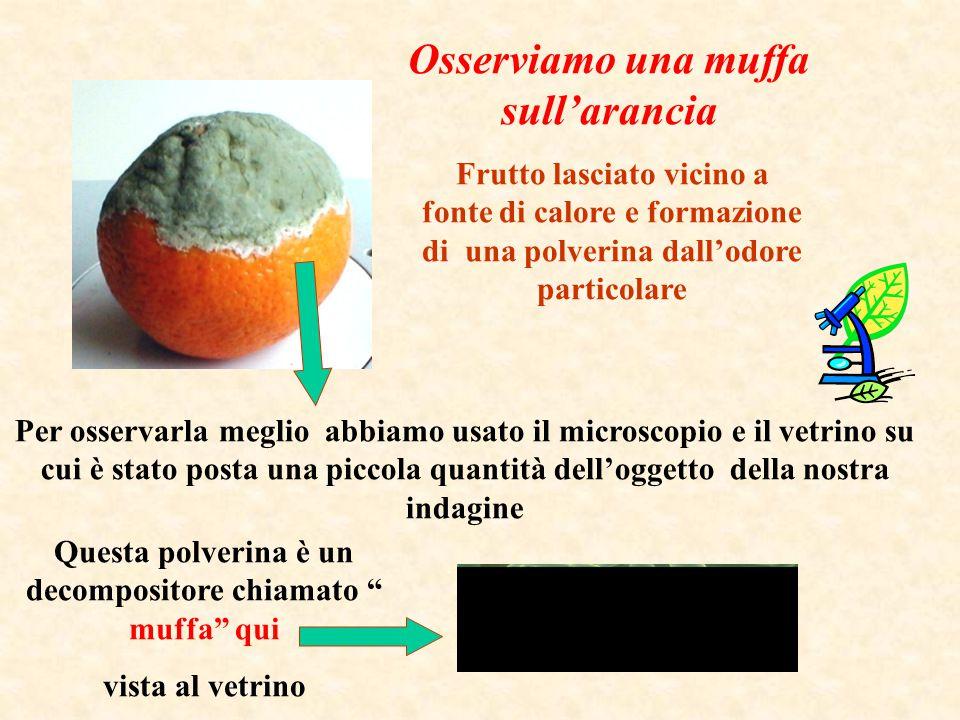 Osserviamo una muffa sull'arancia Frutto lasciato vicino a fonte di calore e formazione di una polverina dall'odore particolare Questa polverina è un