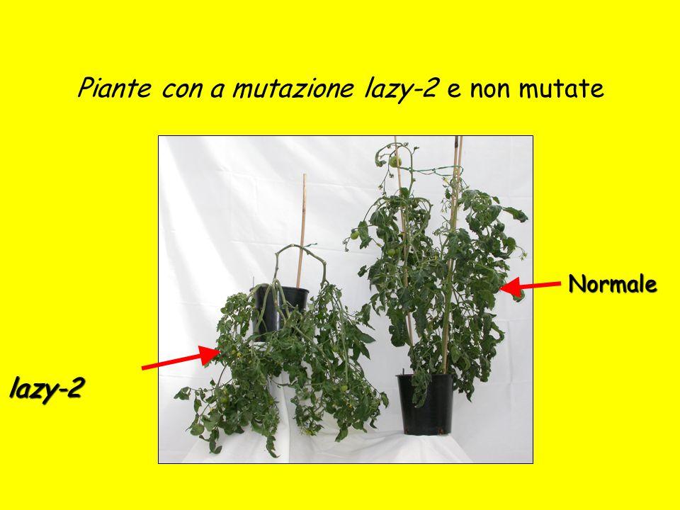 Piante con a mutazione lazy-2 e non mutate lazy-2 Normale