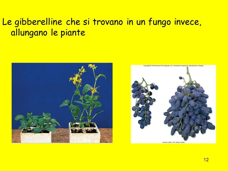 12 Le gibberelline che si trovano in un fungo invece, allungano le piante