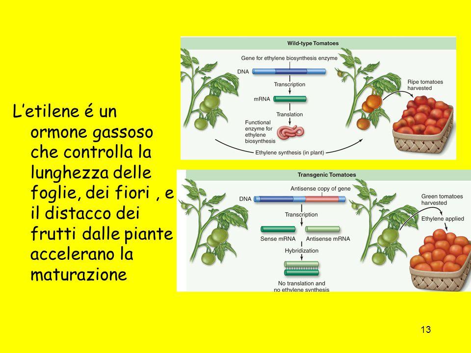 13 L'etilene é un ormone gassoso che controlla la lunghezza delle foglie, dei fiori, e il distacco dei frutti dalle piante accelerano la maturazione