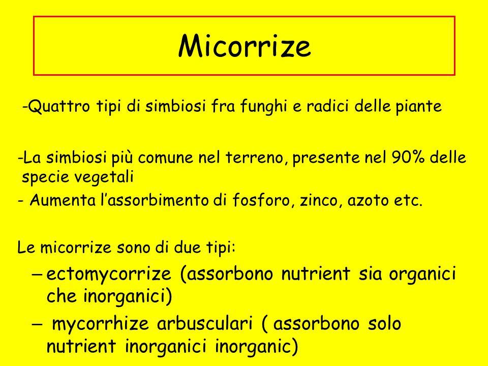 Micorrize -Quattro tipi di simbiosi fra funghi e radici delle piante -La simbiosi più comune nel terreno, presente nel 90% delle specie vegetali - Aum