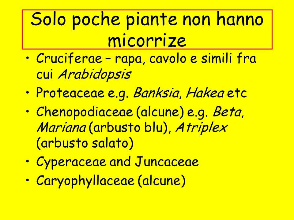 Solo poche piante non hanno micorrize Cruciferae – rapa, cavolo e simili fra cui Arabidopsis Proteaceae e.g. Banksia, Hakea etc Chenopodiaceae (alcune