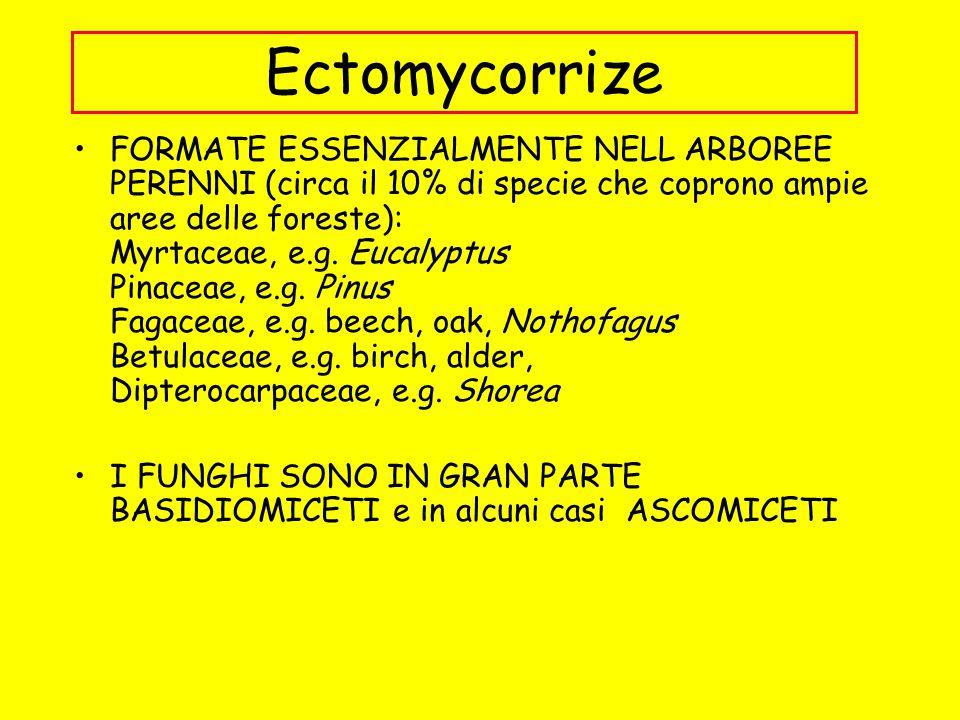 Ectomycorrize FORMATE ESSENZIALMENTE NELL ARBOREE PERENNI (circa il 10% di specie che coprono ampie aree delle foreste): Myrtaceae, e.g. Eucalyptus Pi