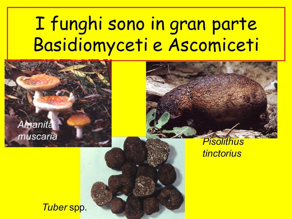 I funghi sono in gran parte Basidiomyceti e Ascomiceti Amanita muscaria Tuber spp. Pisolithus tinctorius