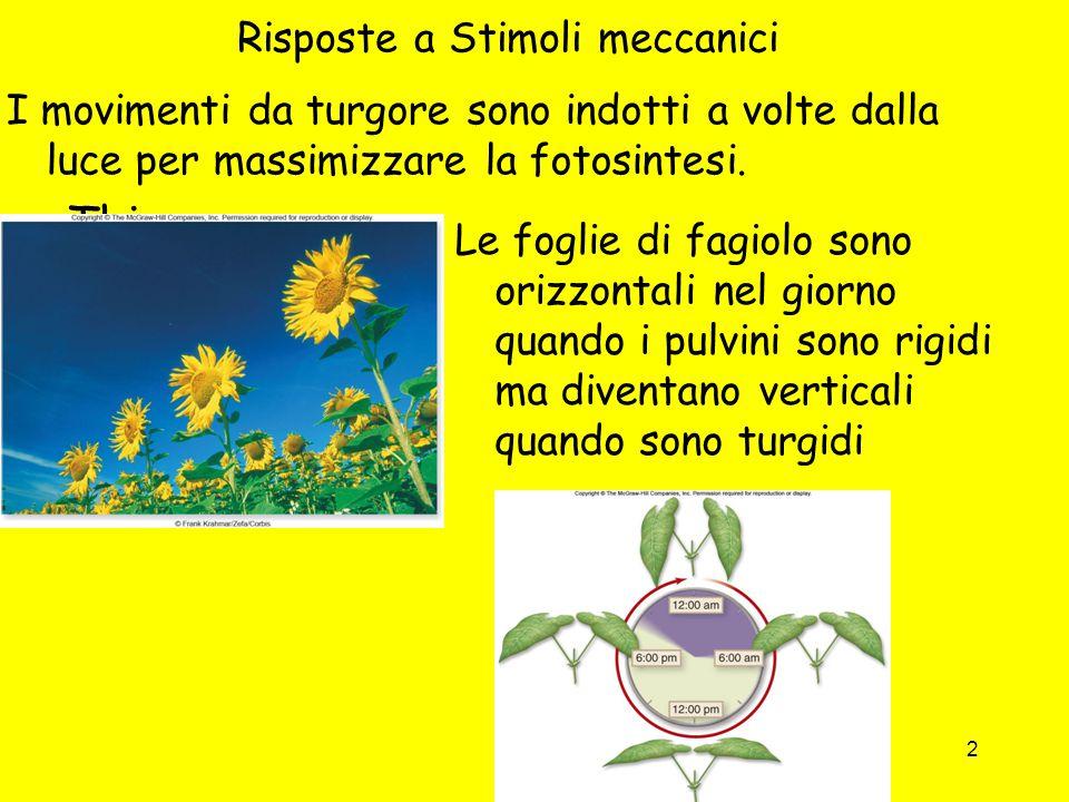 2 Risposte a Stimoli meccanici I movimenti da turgore sono indotti a volte dalla luce per massimizzare la fotosintesi. -This move Le foglie di fagiolo