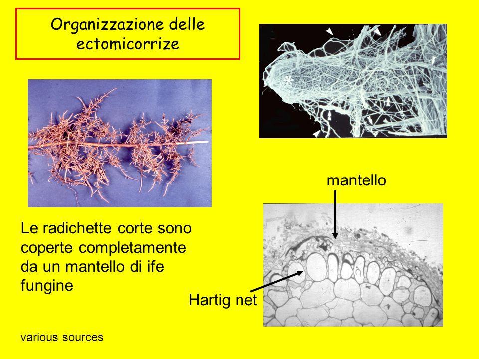 Organizzazione delle ectomicorrize Le radichette corte sono coperte completamente da un mantello di ife fungine mantello Hartig net various sources