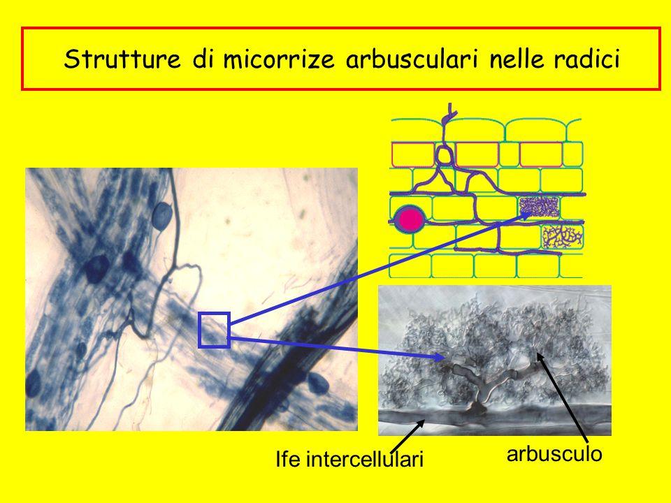 Strutture di micorrize arbusculari nelle radici arbusculo Ife intercellulari