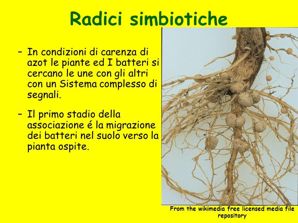 Radici simbiotiche –In condizioni di carenza di azot le piante ed I batteri si cercano le une con gli altri con un Sistema complesso di segnali. –Il p