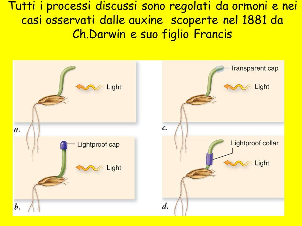 7 Tutti i processi discussi sono regolati da ormoni e nei casi osservati dalle auxine scoperte nel 1881 da Ch.Darwin e suo figlio Francis
